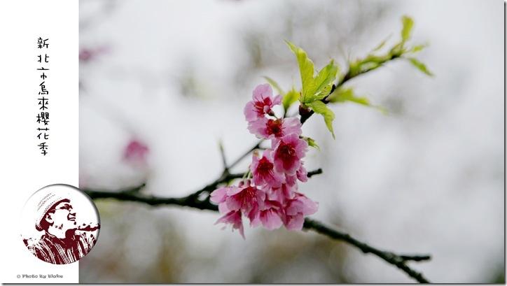 2015新北市烏來櫻花季